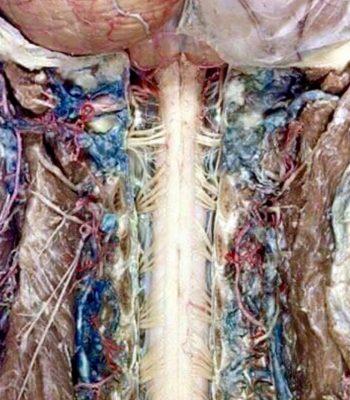 sistema nervioso y columna vertebral