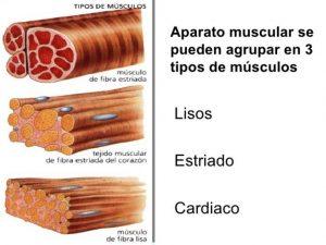 tipos de musculos, lisos estriados cardiacos