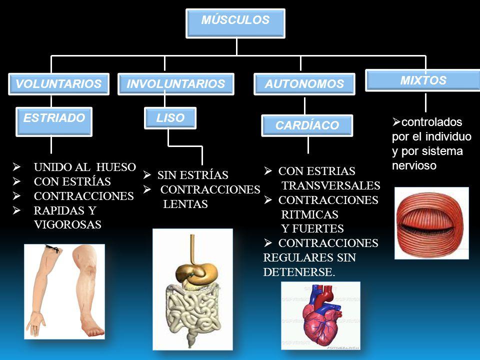 clasificacion de los musculos segun la forma en que sean controlados